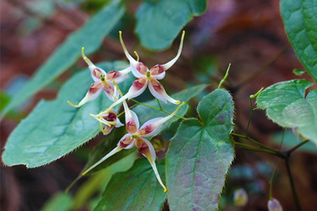 Erectzan Ingredients Epimedium