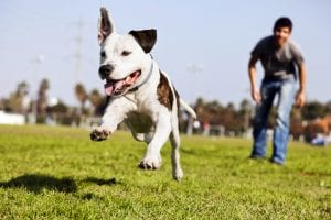 man walking after Pit Bull dog running in park